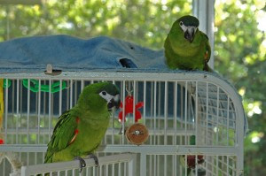 Hahn's macaws on cage