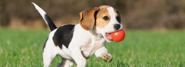 beagle puppy with red ball