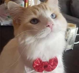 Cat with bow collar